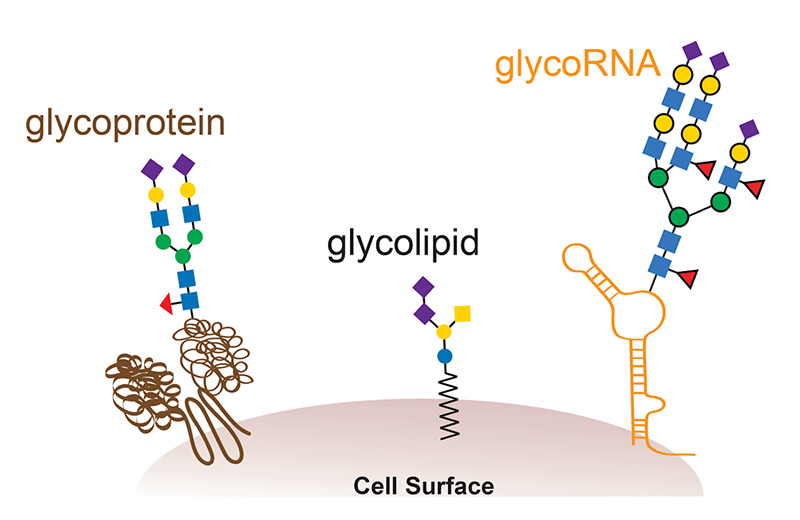 glycoRNAs